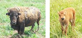 bisons sur le Causse Noir