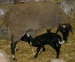 brebis et son agneau