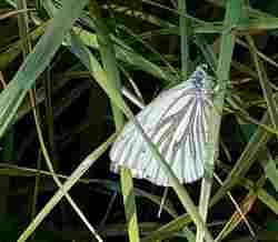 papillon avril 2020