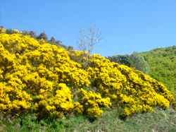 paysage de genets sur la route de l'Aigoual
