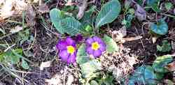 primeveres violettes printemps 2020